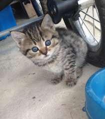 Чистокровные британские котята, в г.Выкса