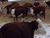 Телки казахской белоголовой породы в количестве 60 голов, в Магнитогорске
