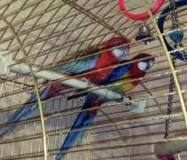 Пара попугаев Розелла, в Москве