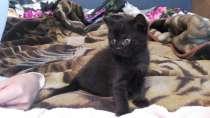 Очаровательный котенок страйт, в Санкт-Петербурге