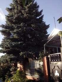 Продам голубую ель, в г.Славянск-на-Кубани