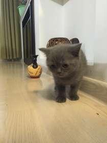 Британский котик, в Кирове