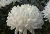 черенок хризантемы, в г.Гулькевичи