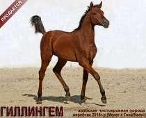 Продается арабский жеребчик ГИЛЛИНГЕМ, в Абинске
