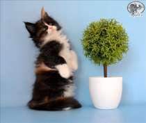 Яркие котята породы мейн-кун, в Иванове