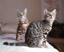Бенгальские котята, в г.Костанай