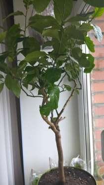 Лимон Павлова дерево 6 лет, в Санкт-Петербурге