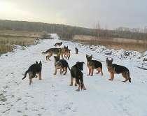 Клубные щенки немецкой овчарки, в Жуковском