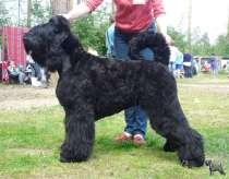 Русский черный терьер, перспективные щенки, в Екатеринбурге