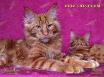 Кот мейн кун - Ярослав - красный солид, в Перми