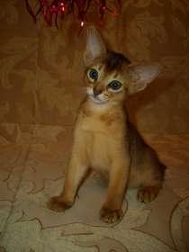 Абиссинский котик, в Новосибирске