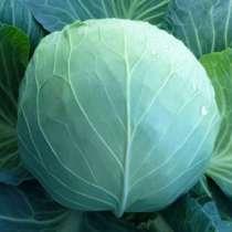 Семена белокочанной капусты KS 29 F1 (Китано), в г.Бельцы