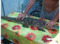 Нильский крокодил, в Краснодаре