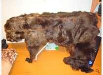 шкура медведя, в Таштаголе