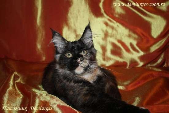 Котята Мейн Кун из питомника в Москве Фото 1