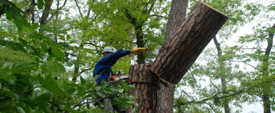 Устранение спиливанием старых деревьев в Москве Фото 2