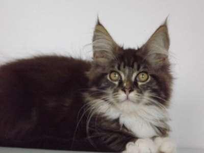 Котята мейн-кун из питомника в Курске Фото 3
