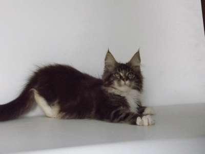 Котята мейн-кун в Таганроге Фото 1