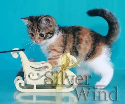 Кошечка - скоттиш страйт в Хабаровске Фото 4