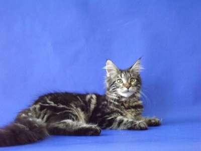 Котята мейн-кун в Новороссийске Фото 4