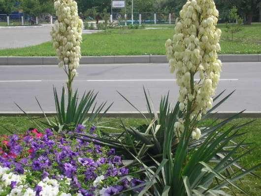 Юкка нитчатая, кактус - экзотика в саду. Саженцы