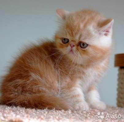 Экзотические к/ш котята рыжики