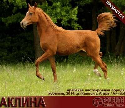Продается арабская кобылка АКЛИНА в Краснодаре Фото 2