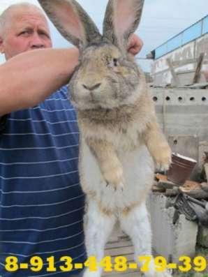 Кролики бельгийский фландр Саяногорск