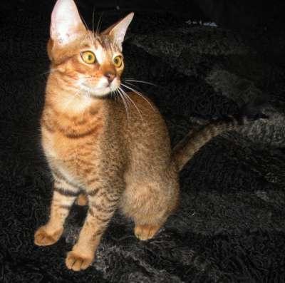 Чаузи (нильская кошка)-----Необычайно редкая и престижная