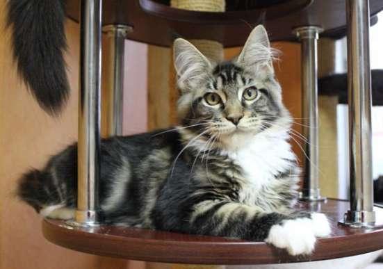Продам шикарного котика породы Мейн кун