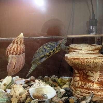 Аквариум, размер 50х25х40, с ракушками и краснаухой черепахо в Владикавказе Фото 2