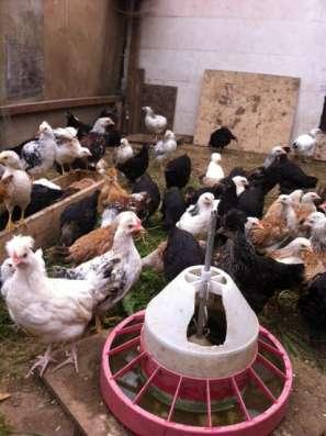 Куры мясояичных пород