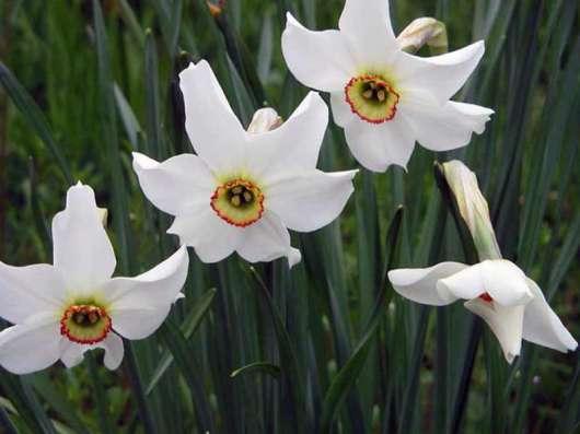 Нарцисc луковица сорт Narcissus poeticus actaea