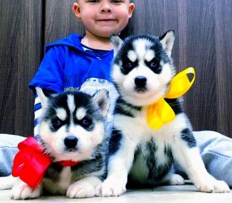 Черно-белые щеночки хаски