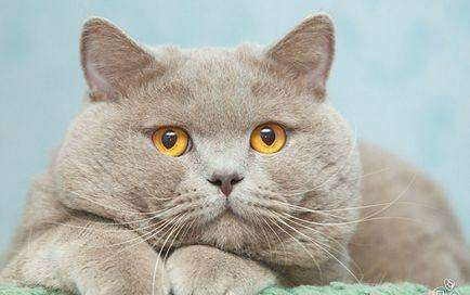 Лиловый британский котик