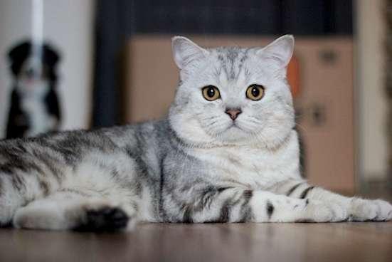 Котик шотландский на вязку