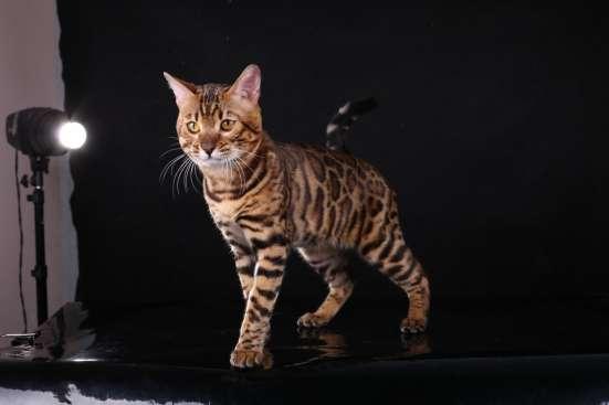 Бенгальский кот. Вязка в Туле Фото 2