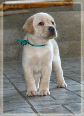 Предлагаю на продажу очаровательного щенка лабрадора