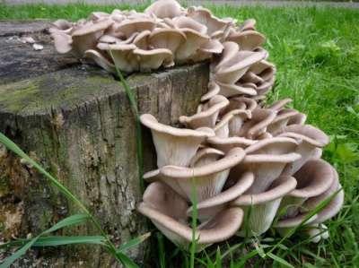 Мицелий (семена) грибов. Разные виды. в Абакане Фото 1