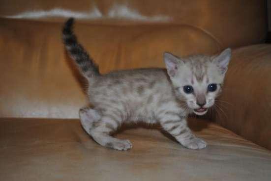 Бенгальские котята, от качественных производителей