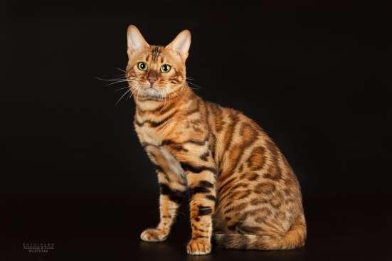 Питомник бенгальских котят в Челябинске Фото 6