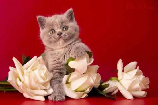 "Британские котята из питомника ""Elite Charme"" в Екатеринбурге Фото 6"