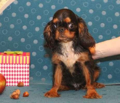 Продается щенок Кинг Чарльз Спаниеля, черно-подпалого окраса, мальчик в Москве Фото 1