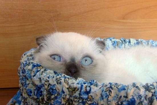 Чистокровные шотландские короткошерстные котята