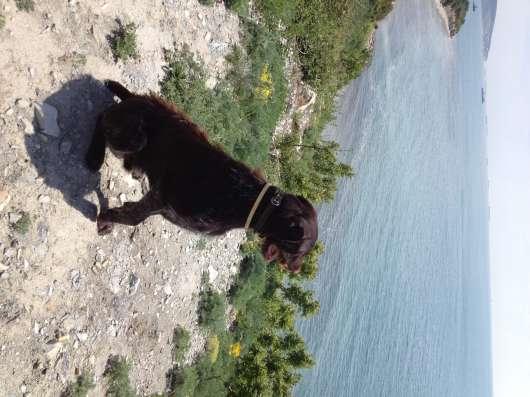 Породистый щенок дратхаара