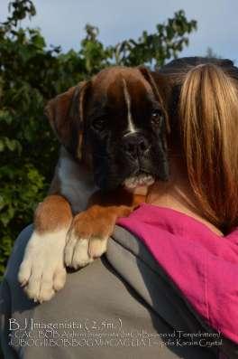 Боксер щенок в г. Киев Фото 1
