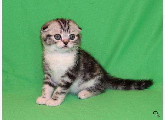 Шотландские вислоухие котята биколоры